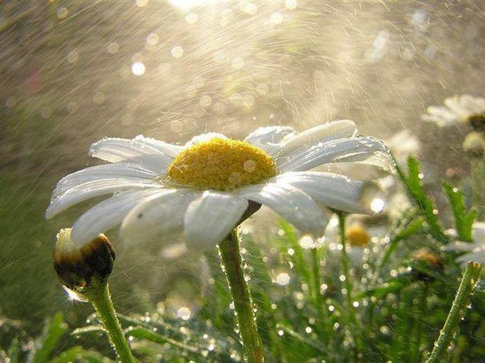 Фото Ромашки в росе в солнечном свете