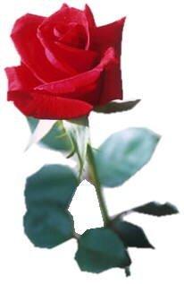 schöne ingeborg rose